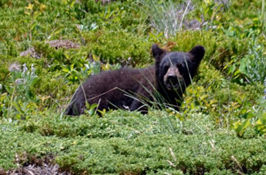 Crowsnest Pass bear occurrences