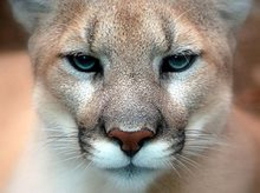 Cougar  found in Okotoks garage!