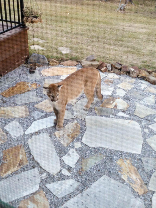 Cougars too close for comfort in Crowsnest Pass last week