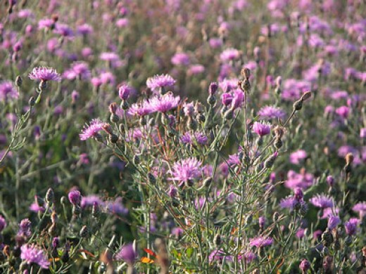 20th Anniversary Knapweed Rodeo